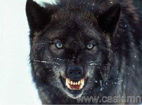 Хар чононууд.