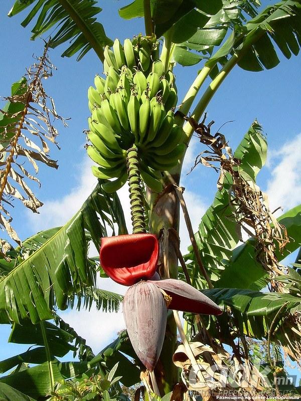 Банан яаж ургадаг вэ?