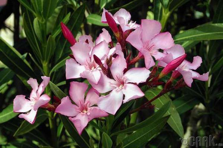"""""""Хулслаг улаан цэгцүүхэй"""" (Oleander)"""
