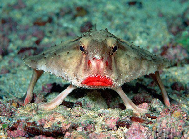 Улаан уруултай сарьсан багваахай загас