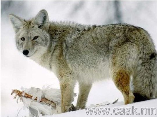Эрлийз чононууд