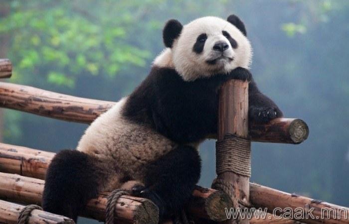 Панда ч гэсэн нэг төрлийн мэргэжилтэн