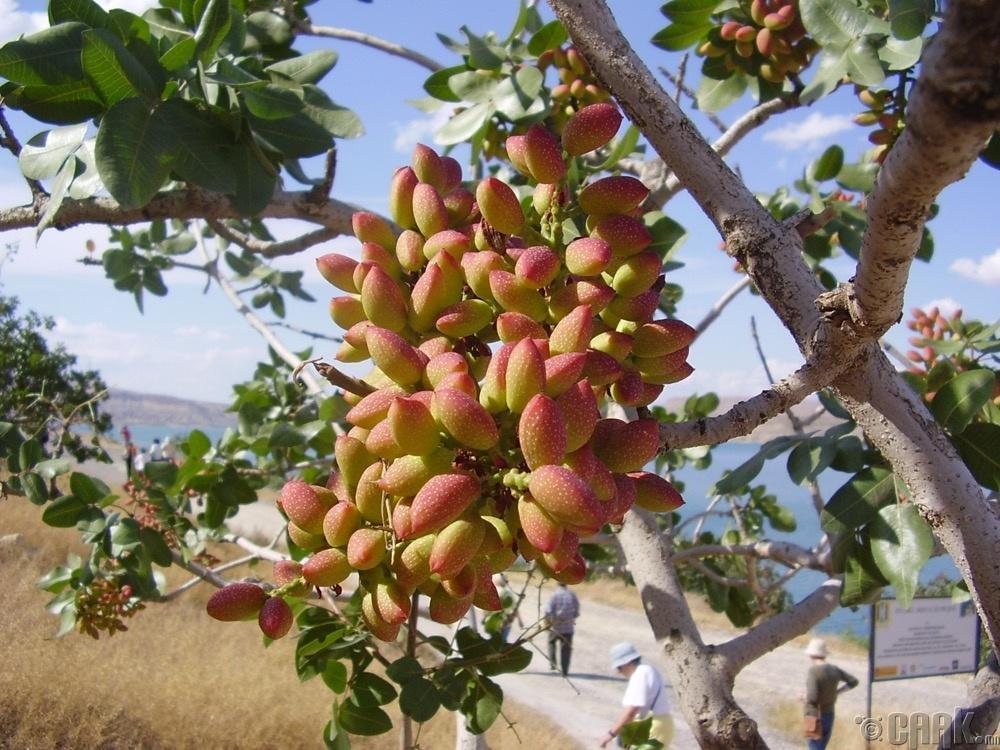 Фисташкийн мод