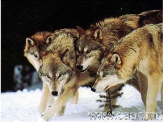Чоно бие биенээ барьж иддэг
