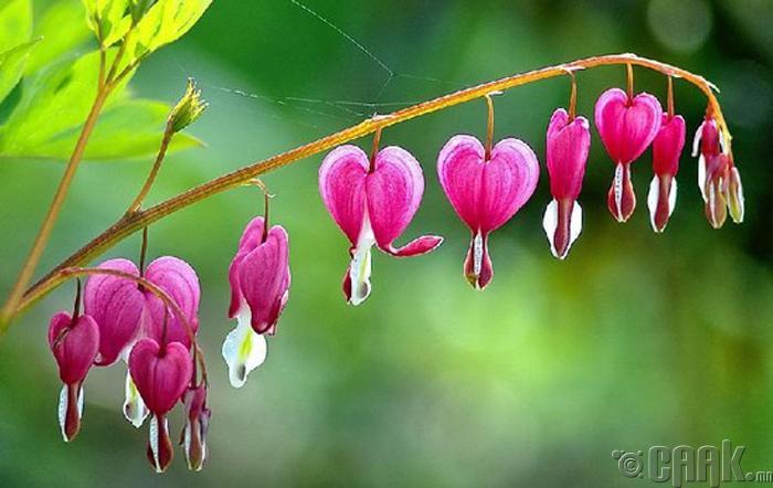 Зүрхэн цэцэг