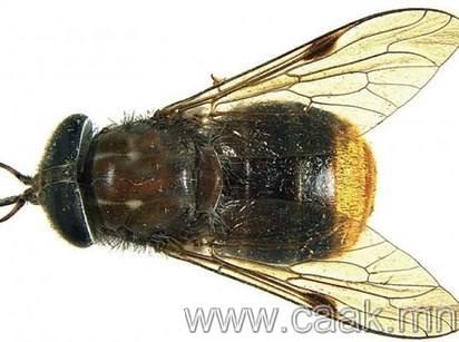 """2012 онд нэгэн ховор төрлийн ялааг """"Scaptia beyoncea"""" хэмээн нэрлэсэн бөгөөд энэ нь Бейонсегийн өгзөгтэй ижил байсан гэнэ"""