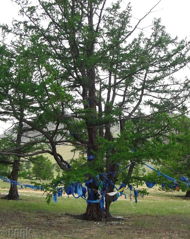 Зуун салаа мод. Цагаан-Үүр сум