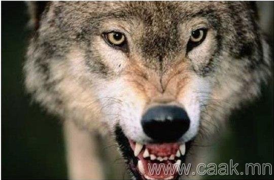 Галзуу чононууд