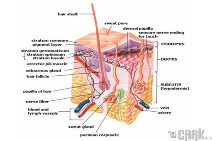 Үсний булчин