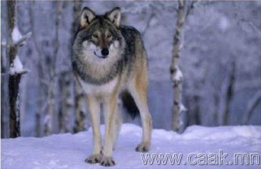 Америкийн чоно