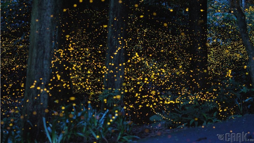 Гэрэлтдэг цохтой ой, Япон