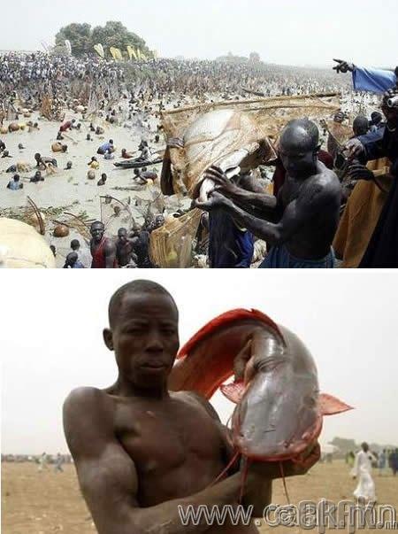 Аргунгу загас барих фестивал: Нvцгэн гараараа хамгийн том загас барих тэмцээн фестивал (Нигери)