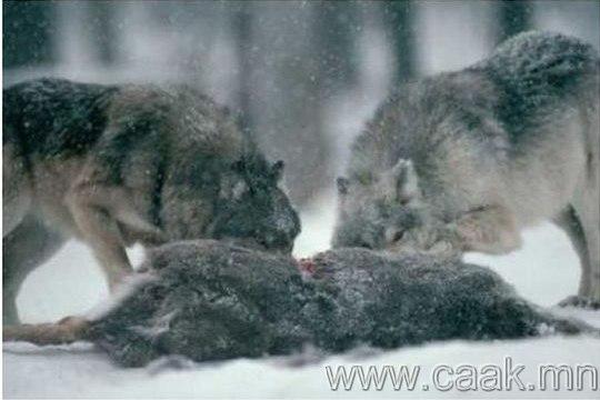 Чоно амьтдыг амьдаар нь иддэг