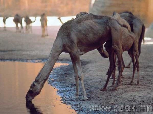 Тэмээ бөхөндөө ус нөөцөлдөг