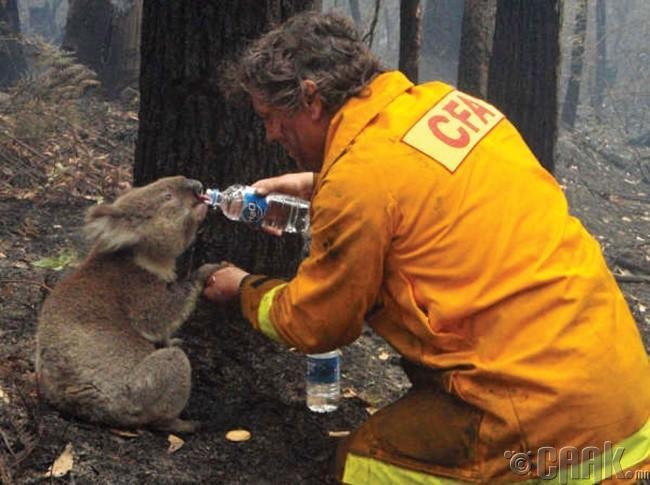 Ойн хээрийн түймэр унтрааж байх үеэр ангасан коала баавгайд ус өгч буй гал унтраагч