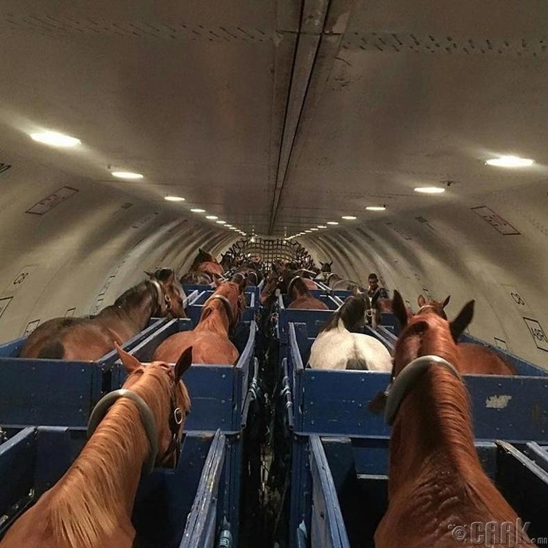 Нисэх онгоцоор адуу тээвэрлэж буй нь