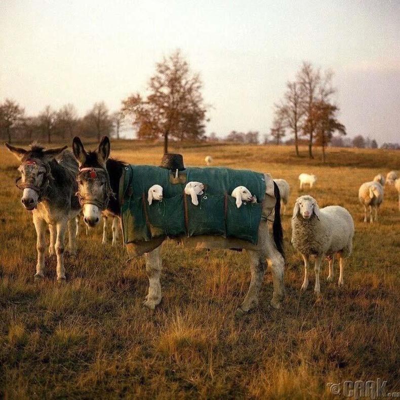 Италид бэлчээр дээр төрсөн хургануудыг ингэж авч явдаг