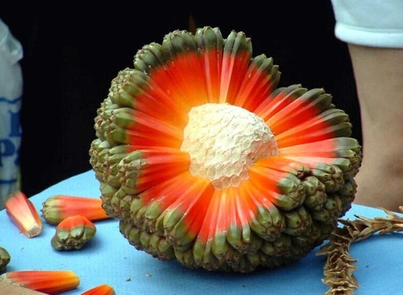 Энэ бол солир биш харин Чала хэмээх витамин С-ээр баялаг жимс юм