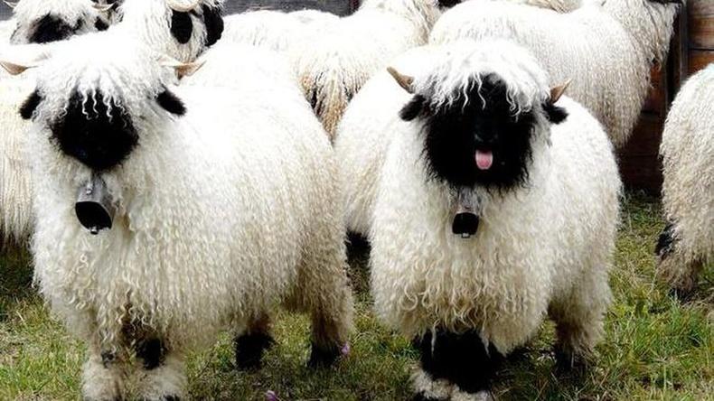 Швейцарийн хар хошуут хонь