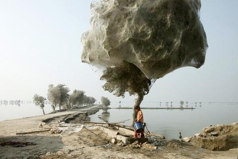 Аалзны шүлсэнд хучигдсан модод, Пакистан