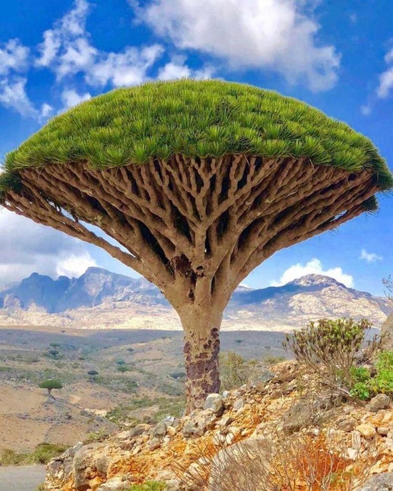 """Зөвхөн Сокотра арал дээр ургадаг """"Луугийн цуст"""" хэмээх мод"""