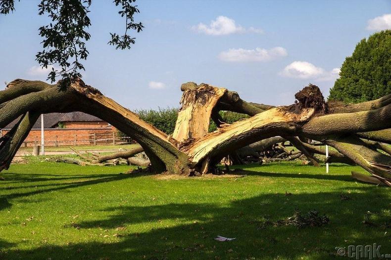 Хүчирхэг царс мод аянгын өмнө сөхөрсөн нь