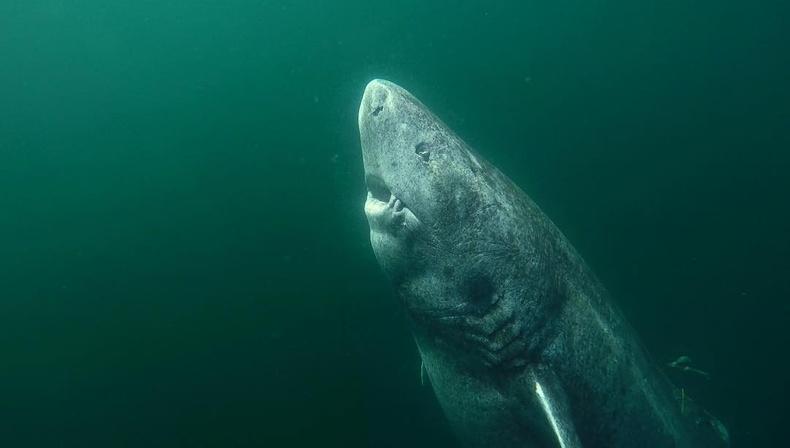 392 настай Гренландын аварга загас