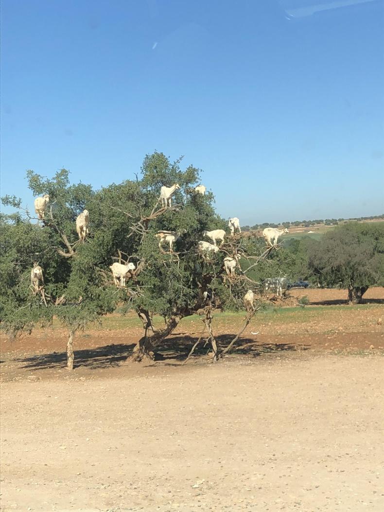 Марокко улсад ямаанууд хад чулуу бус модонд авирдаг