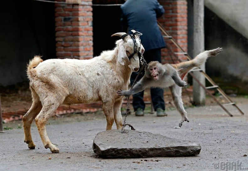 Ямааны эврээс зүүгдэх сармагчин