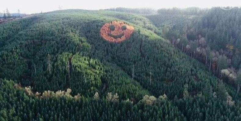 Орегон дахь нарсан ойд навчит модны төгөл нуугддаг байна. Намар, навч унах үед энэ нь холоос ч харагддаг гэнэ.