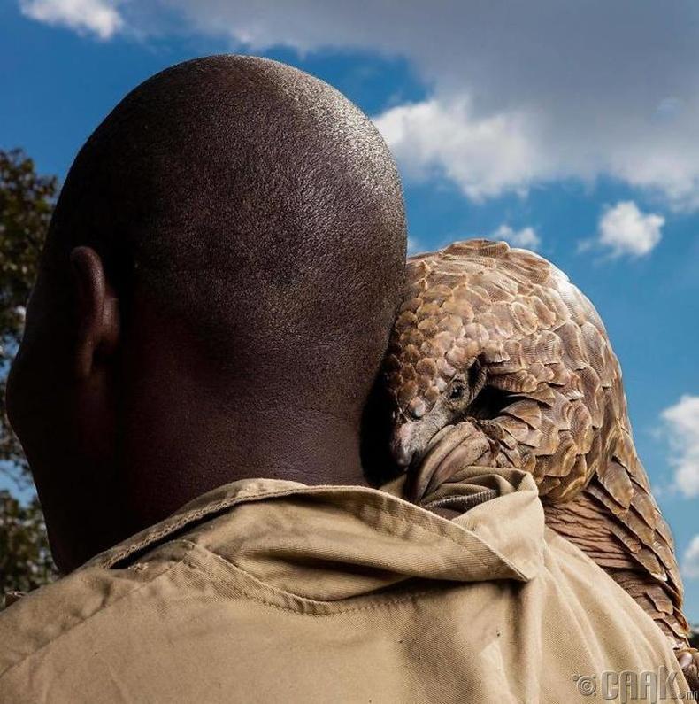 Устах аюулд ороод буй панголин гүрвэл - Гэрэл зурагчин Брент Стиртон (Brent Stirton)