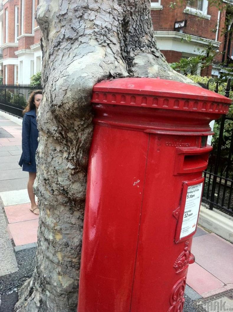 Шуудангийн хайрцаг залгиж буй мод