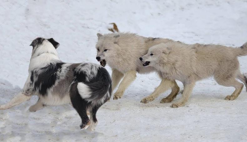 Чоныг дийлж чаддаг 7 үүлдрийн нохой