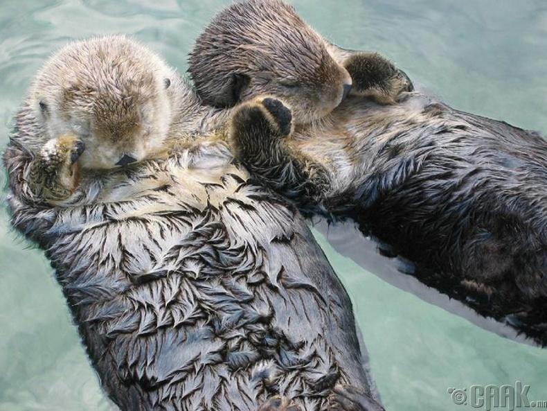 Халиунууд унтахдаа нэг нэгнээсээ салахгүйн тулд сарвуугаараа хэлхэлддэг