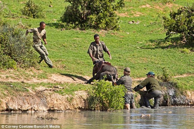 Байгаль хамгаалагчид амь насаа үл хайхран, зааны тугалыг аварчээ