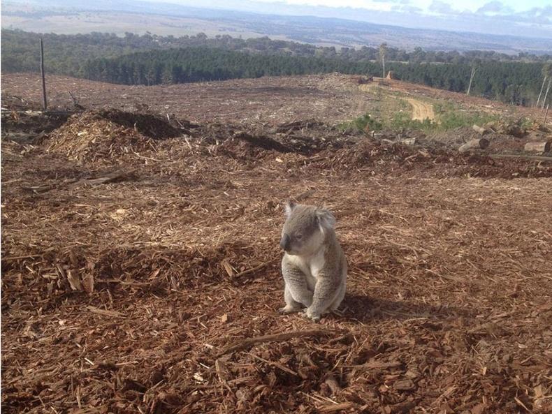 Очих газаргүй болсон коала баавгай