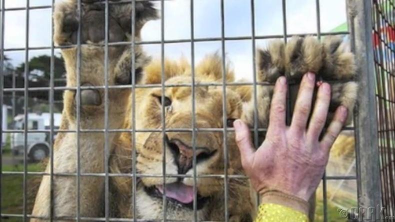 Торонд хоригдсон арслан