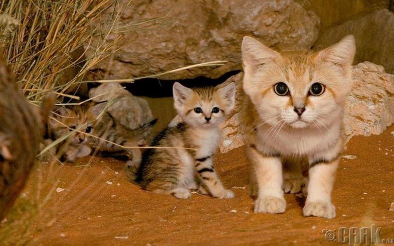 Цөлийн муур нэн ховордсон амьтанд тооцогддог байсан ч сүүлийн жилүүдэд тоо толгой нь нэмэгдсээр байна