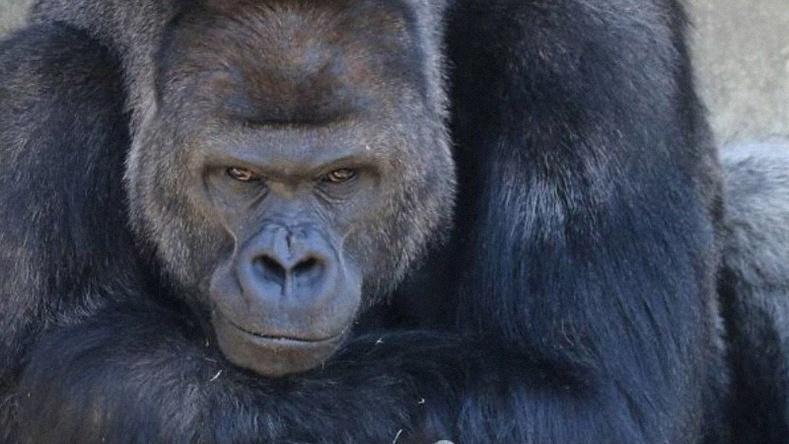 """Цахим ертөнцийн од, """"царайлаг"""" горилл"""