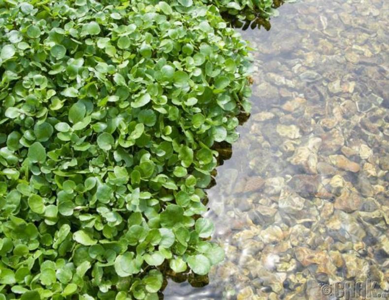 Усны сармаг (Nasturtium officinale)
