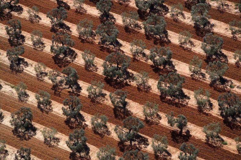 Андалуз муж дахь оливийн талбай - Испани