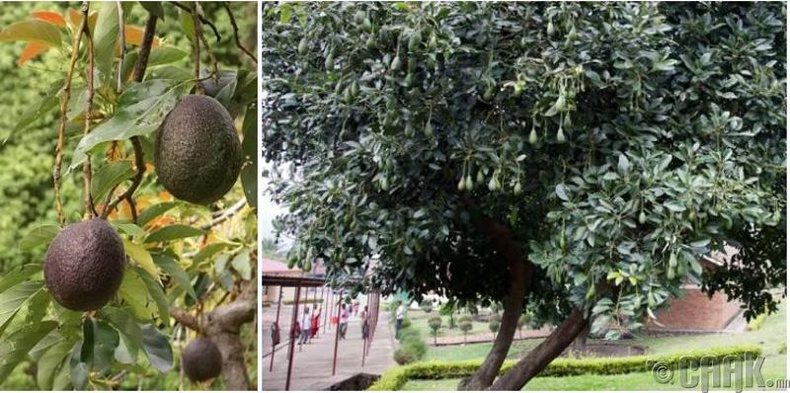 Авокадо нь өндөр модон дээр ургадаг.