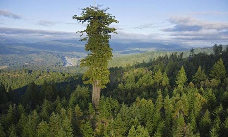 Дэлхийн хамгийн өндөр 10 мод