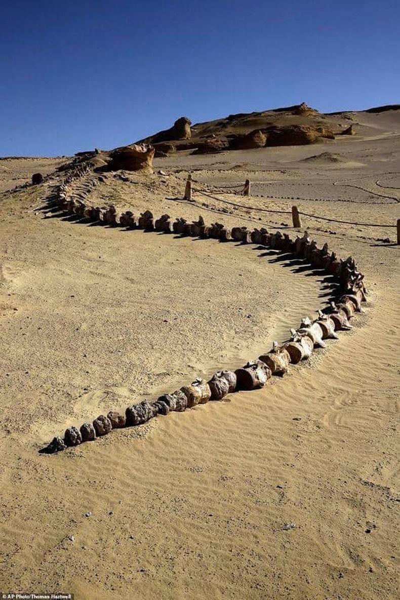 Египетийн цөл дэх 37 сая жилийн настай халимын яс