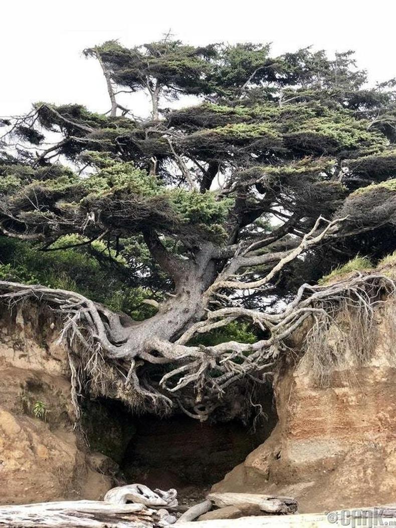 Өнө удаан жилийн настай мод