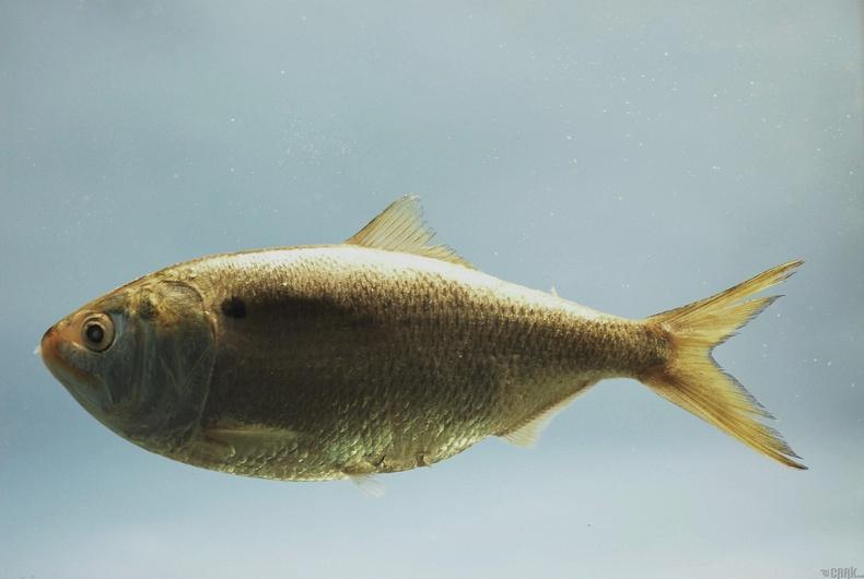 Менхаден загас бол далайн хүнс тэжээлийн гол эх үүсвэр