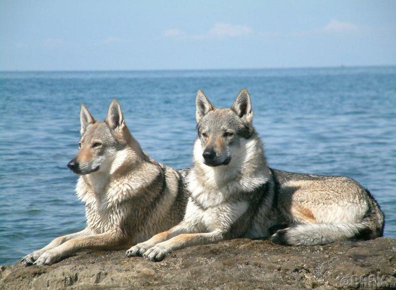 Чоно + Нохой (Wolfdog)