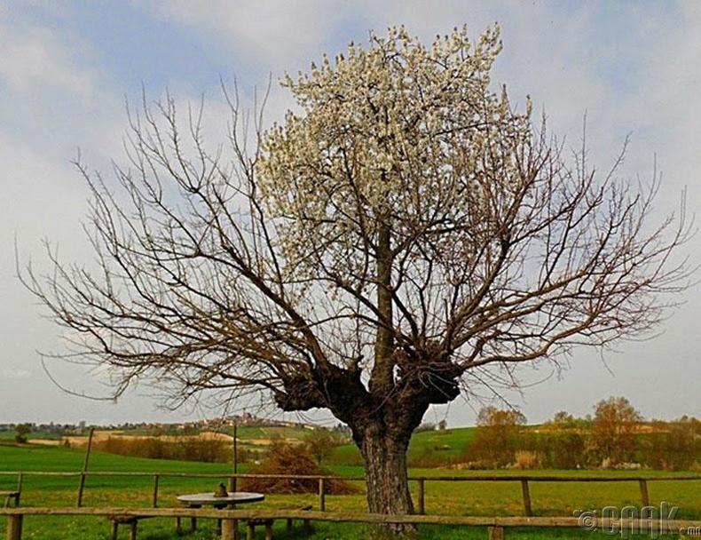 Касорзогийн давхар мод