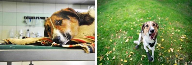 Хавханд савраа алдсан нохойд хиймэл хөл хийж өгчээ
