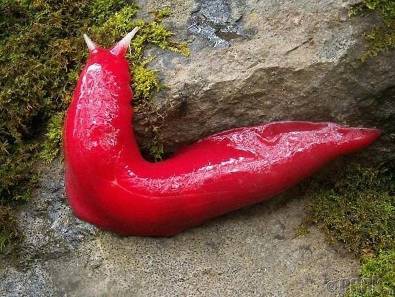 Улаан эмгэн хумс